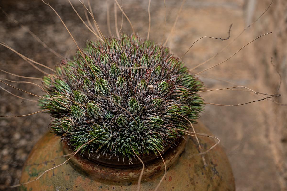 Eine Succulent-Pflanze in einem Keramiktopf